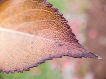 Macro Of A Leaf Changing Color stock photography