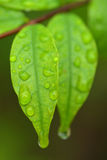 Macro shot of leaf are fragrant Wrightia religiosa Benth. Stock Photography