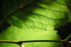 Macro shot of leaf with veins. Macro shot of green leaf shows veins against back lighting royalty free stock photos