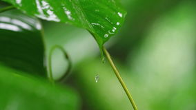 Macro shot of leaf. A macro shot of green leaf with waters raining down on it while slowly pans to the right and left stock footage
