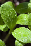 Macro shot, leaves of borage seedling Stock Image