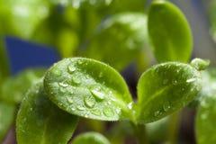 Macro shot, leaves of borage seedling Royalty Free Stock Images