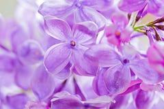 Macro shot of lilac Royalty Free Stock Image