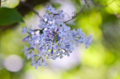 Macro shot of Lilac flowering tree Royalty Free Stock Photos