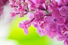 Macro shot of lilac Royalty Free Stock Images