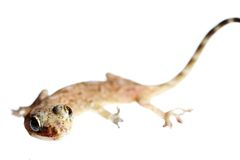Lizard macro Royalty Free Stock Photography