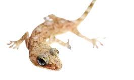 Lizard macro Royalty Free Stock Image
