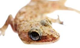 Lizard macro Stock Photography