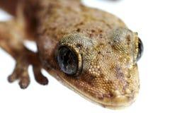 Lizard extreme  macro Royalty Free Stock Image