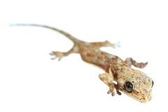 Lizard extreme  macro Royalty Free Stock Photos
