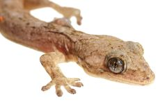 Lizard macro Royalty Free Stock Photos