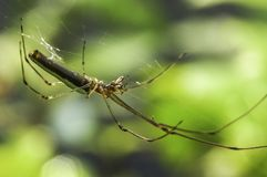 Lynx Spider in Oxyopidae family. Macro shot of Lynx Spider in Oxyopidae family Stock Photo
