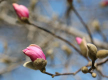 Macro shot of magnolia bud in March Royalty Free Stock Photos