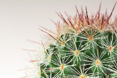 Mammillaria Cactus Stock Photos