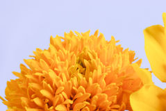 Macro shot of marigold flower Stock Photo