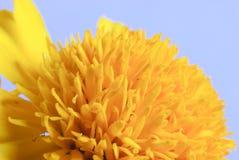 Macro shot of marigold flower Stock Images