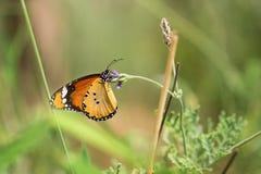 Macro shot of monarch butterfly Danaus plexippus. On flower royalty free stock images