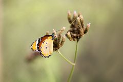Macro shot of monarch butterfly Danaus plexippus. On flower stock image