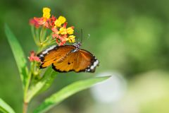Macro shot of monarch butterfly Danaus plexippus. On flower royalty free stock image