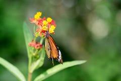 Macro shot of monarch butterfly Danaus plexippus. On flower stock photography