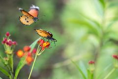 Macro shot of monarch butterfly Danaus plexippus. On flower stock photos