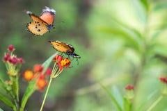 Macro shot of monarch butterfly Danaus plexippus. At zoo stock images