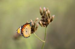 Macro shot of monarch butterfly. Danaus plexippus stock photography