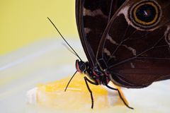 Morpho butterfly eating. Macro shot of morpho butterfly sitting on orange and eating royalty free stock image