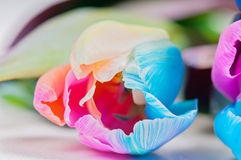 Macro shot of multicolored tulip Royalty Free Stock Photography