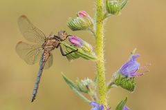 Macro Shot Of Dragonfly Keeled Skimmer Orthetrum Coerulescens On The Grass. Royalty Free Stock Photography