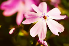 Macro Shot Of Small Little Pink Flowers Royalty Free Stock Photos