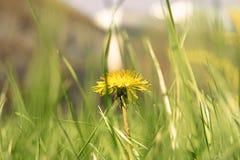 Macro shot og yellow flower of dandelion Stock Photo