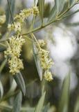 Macro shot of olive tree blossom Royalty Free Stock Image