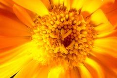Macro shot of orange flower Stock Image