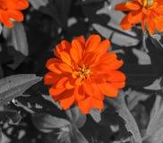 Orange Flower. Macro shot of an orange flower over monochrome background Royalty Free Stock Photography
