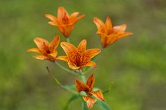 Macro shot of orange lilies in soft focus royalty free stock photos