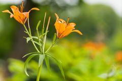 Macro shot of orange lilies in soft focus stock images