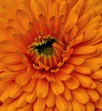 Macro shot of orange-red flower Royalty Free Stock Photography