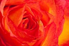 Macro shot of an orange rose Stock Image