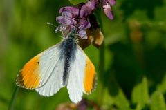 Orange tipped butterfly. Macro shot of an orange tipped butterfly Anthocharis cardamines stock image