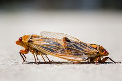 Macro shot of pair of yellow monday cicadas. Joined and facing away from each other royalty free stock photography