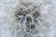 Details of a dandelion as a texture stock images