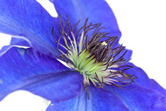 Macro shot of pasque flower or Pulsatilla violet e Stock Photo