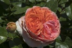 Macro shot of an perfectly blossomed orange rose into a garden. The Macro shot of an perfectly blossomed orange rose into a garden royalty free stock photography