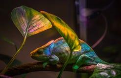 Macro Shot Photography of Chameleon royalty free stock photography