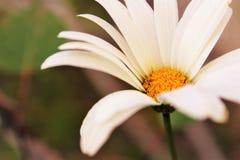 Macro Shot Photography of Daisy Flower Stock Images