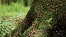 Macro shot of pine tree bark with moss. Close up of base and roots of huge pine tree overgrown with moss in summer forest. Shallow depth of field stock video footage