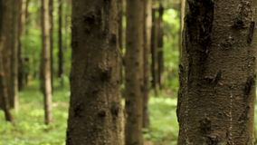 Macro shot of pine trees. Close up of pine tree trunks in forest on sunny summer day. Rack focus, shallow depth of field stock video footage