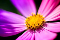Macro shot of a pink blossom. With yellow pollens in the middle, on a sunny summer day Royalty Free Stock Photos