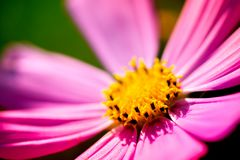 Macro shot of a pink blossom. With yellow pollens in the middle, on a sunny summer day Royalty Free Stock Photo